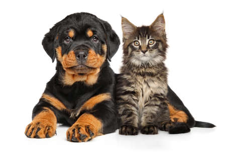rotweiler: Rottweiler Puppy and Maine-coon kitten together. Portrait on a white background