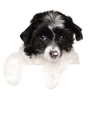 Chinese crested puppy on a white banner isolated on white background
