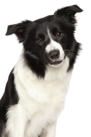 Close-up of Border Collie. Portrait isolated on white background