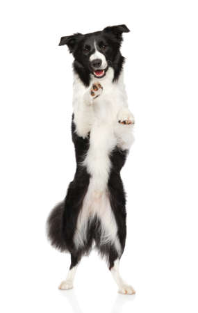 Border Collie on hind legs on white background