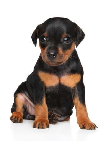 Miniature Pinscher puppy sits on a white background Stock Photo