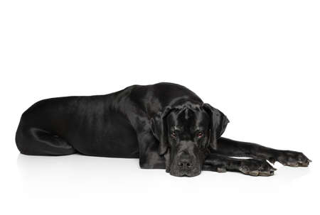 Great Dane lying on white background Stok Fotoğraf