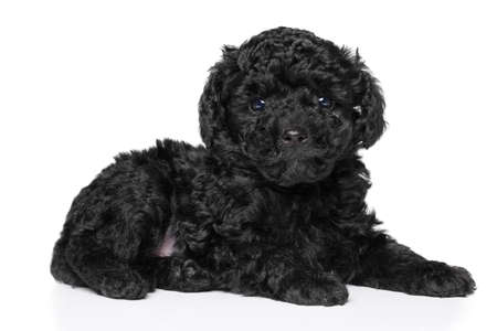 Black Toy Poodle puppy (1 month) lying down on white background