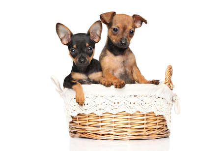 Toy terrier puppies in a wicker basket posing on a white background