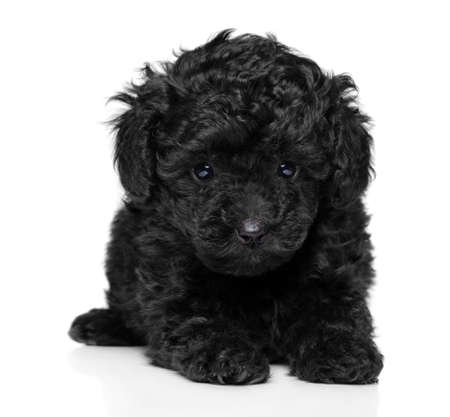 Close-up of black Toy Poodle puppy on white background