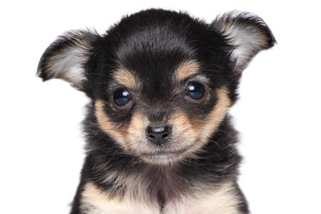 Portrait of a Chihuahua puppy on a white background isolated on white background