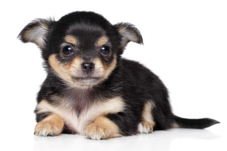 Chihuahua puppy lying on a white background
