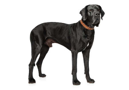 Great Dane in stand on a white background Stock Photo - 87479030