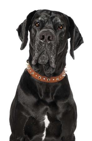 グレートデーンは、白い背景で隔離の犬の肖像画