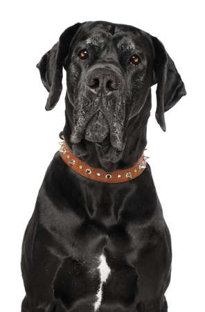 Portrait of dog Great Dane isolated on white background