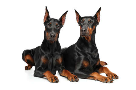 Two Doberman graceful lying on a white background
