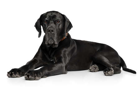 Great Dane lying down on white background