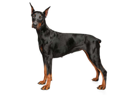 Young Doberman in stand on white background
