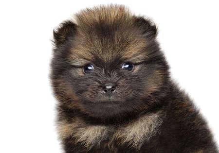 Close-up of Pomeranian Spitz puppy isolated on white background. Baby animal themes
