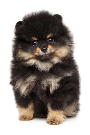 Portrait of Pomeranian Spitz puppy on white background. Baby animal theme