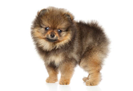 Pomeranian Spitz puppy in stand on white background Stock Photo