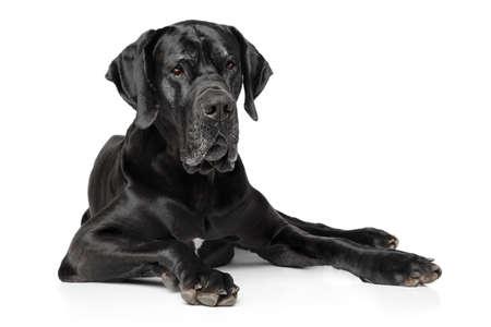 Black Great Dane dog lying on white background