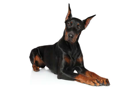 Young Doberman lying on a white background Stock Photo