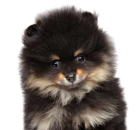 Pomeranian Spitz puppy. Close-up on white background