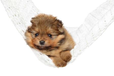 Pomeranian Spitz puppy resting in hammock on white background. Baby animal theme