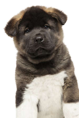 American Akita puppy isolated on a white background. Baby animal theme