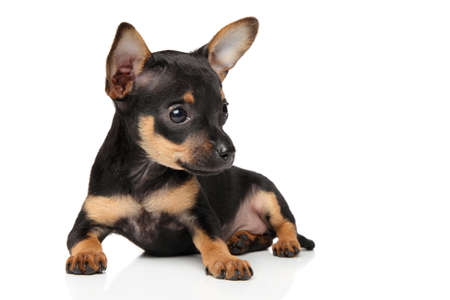 Close-up of Toy terrier puppy on white background. Baby animal theme