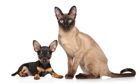Toy Terrier puppy and Burma kitten posing on white background