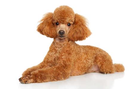 Perrito del caniche de juguete agraciado acostado sobre un fondo blanco