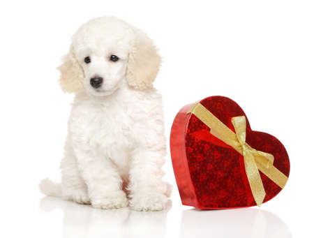 Young Poodle with red Valentine heart sits on white background