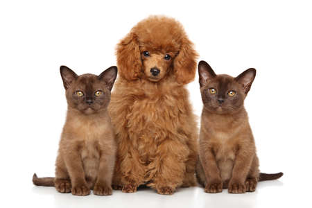 Toy poodle with cute Burmese kittens. Portrait on white background