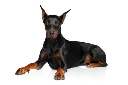 Young Doberman graceful lying on a white background Stock Photo