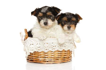 Cute Bieweryork puppies in wicker basket on white background. Baby animal theme Stok Fotoğraf