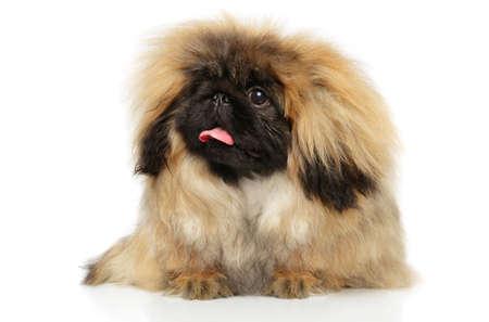 Portrait of fluffy Pekingese dog on white background. Animal themes Foto de archivo