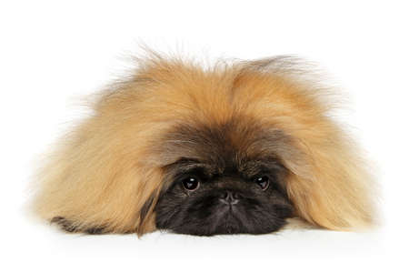 Portrait of fluffy sad Pekingese dog on white background. Baby animal theme