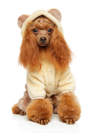 Toy Poodle in warm furry fashionable clothes for dogs posing on white background