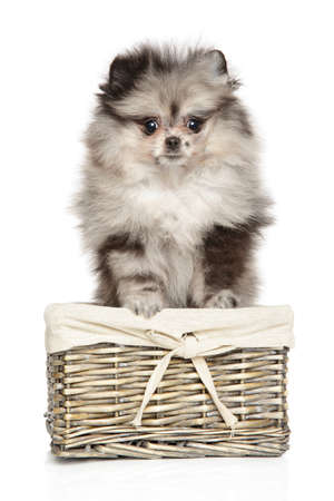 Zwerg Spitz puppy sits in wicker basket on a white background. Baby animal theme