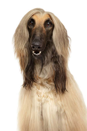 Close-up of Afghan hound isolated on white background Foto de archivo