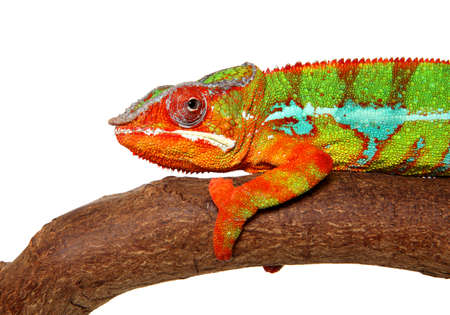 Chameleon resting on branch. Closeup isolated on white background Banco de Imagens