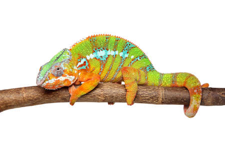 Portrait of colorful Chameleon on white background Imagens - 99051321