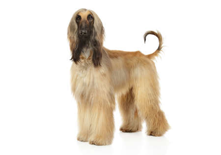 Young Afghan Hound in stand on a white background