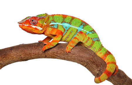 Chameleon crawling on branch isolated on white background