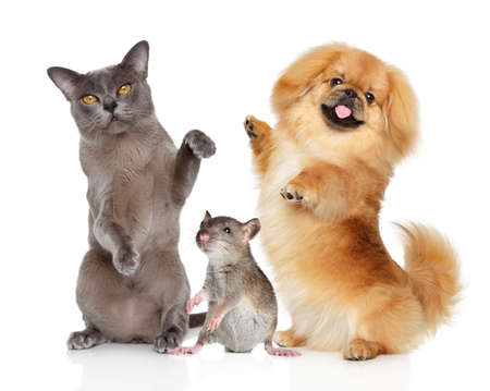 Group of pets cat dog and rat dancing on white background. Animal themes