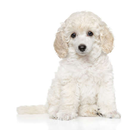 Close-up of Groomed Toy Poodle puppy on white backgroundClose-up of 免版税图像