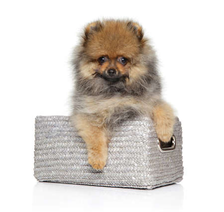 Cute Pomeranian Spitz puppy in wicker basket on white background. Baby animal theme Stock Photo