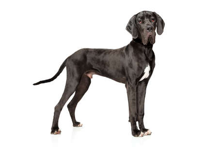 Great Dane in stand on white background. Animal themes