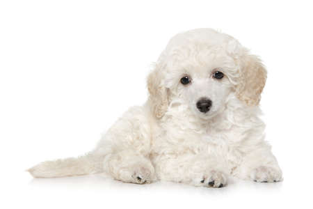 White Toy Poodle puppy lying on white background. Baby animal theme
