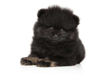 Portrait of black Spitz puppy on white background. Baby animal theme Stock Photo