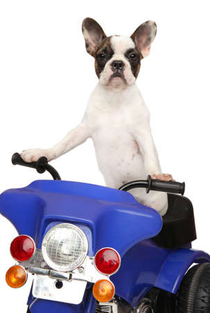 French bulldog puppy on a children-s police motorcycle isolated on white background. Animal themes Stock Photo