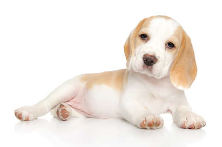 Portrait of a young Beagle puppy on a white background. Animal theme