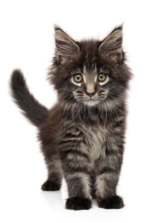 Close-up portrait of a Maine Coon kitten on a white background. Baby animal theme Stock Photo